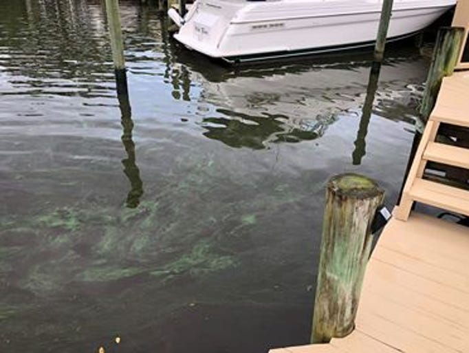 Algae is seen in the St. Lucie River at Shepard Park