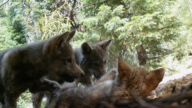 This June 30, 2017, image shows a female gray wolf and her mate with a pup born this year in the wilds of Lassen National Forest in Northern California.