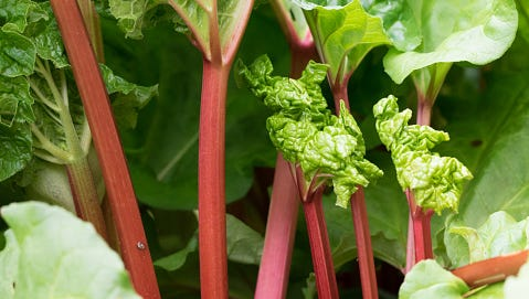 Rhubarb is a prized vegetable often eaten as a fruit.