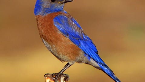 Portrait of a male Western Bluebird