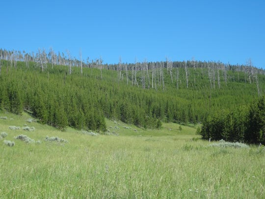 Dense regeneration of lodgepole pines in West-central