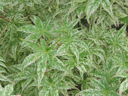 With heavily textured and often striking foliage in