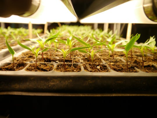 Tomato seedlings under grow lights at Good Heart Farmstead