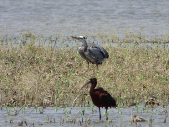 An ibis and a great blue heron wade in Limberlost territory.
