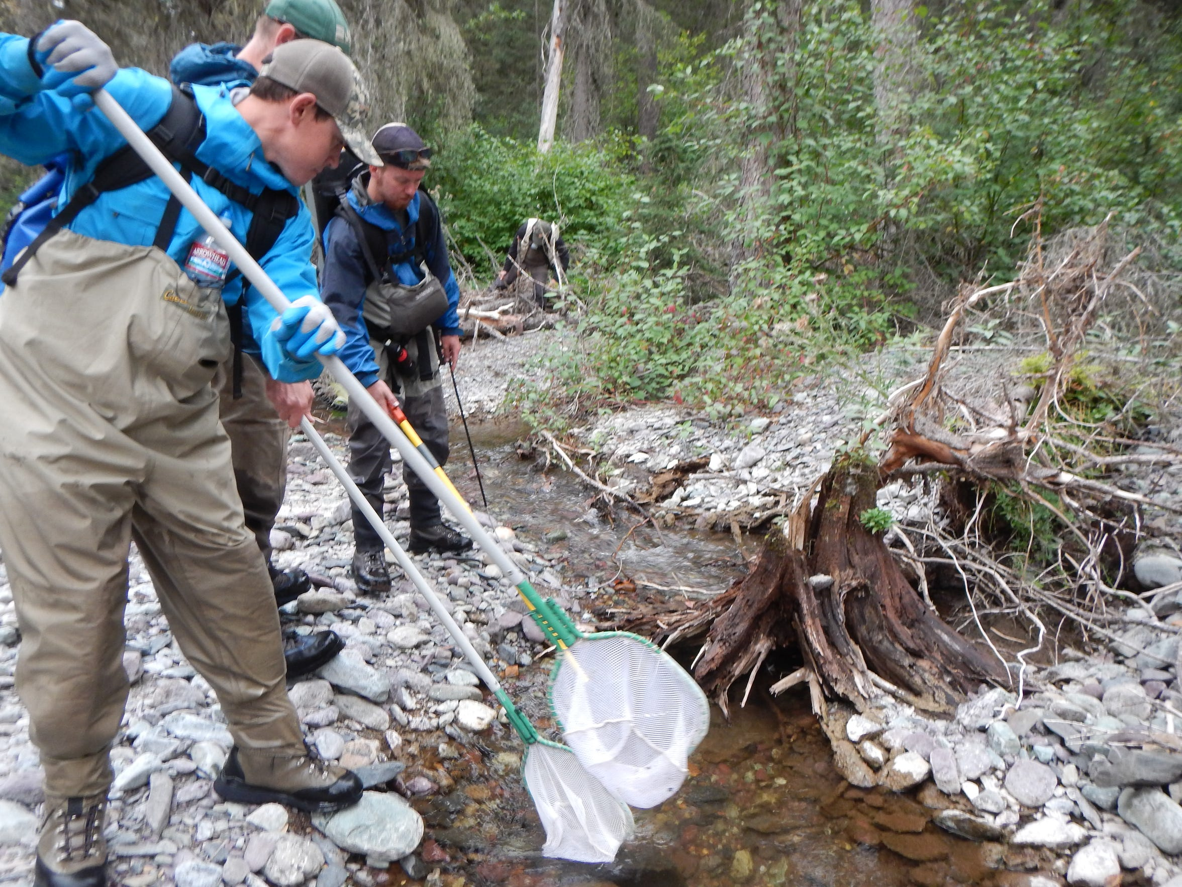 Front to back: Biologist Jon McCubbins, ecologist Clint Muhlfeld and biologist Andrew Lamont collect juvenile bull trout using a backpack electrofisher at Logging Creek in Glacier National Park, so that the fish  to be relocated upstream to Grace Lake.