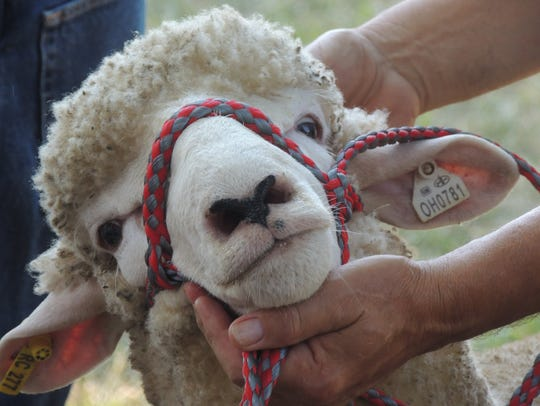 The Open Sheep Competition kicked off at 8 a.m. Thursday