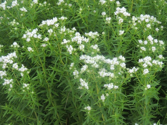 The sweet, minty aroma of Mountain Mint drifts through
