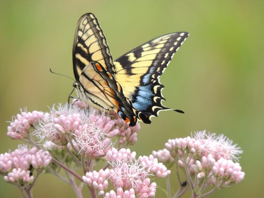 August is swallowtail season across Wisconsin and you