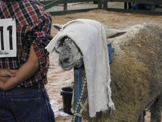 This lamb awaits its turn in the ring Tuesday at the Coshocton County Fairgrounds.
