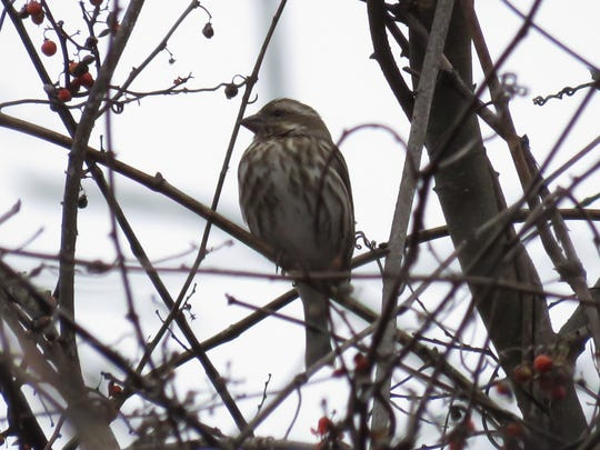 A female Purple Finch is among the birds spotted during an Christmas Bird Count day at Lakeshore Park.