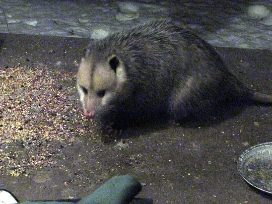 Opossum nibbles at the meal