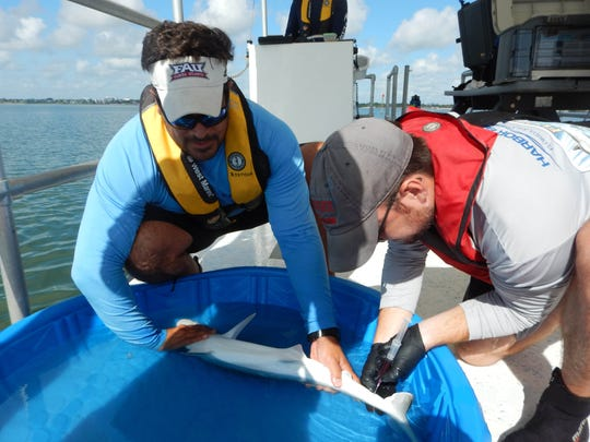 Researcher Matt Ajemian holds down a small shark as Adam Schaefer draws a blood sample. Researchers at FAU-Harbor Branch Oceanographic Institute have been finding high mercury levels in dolphins, sharks and fish in the Indian River Lagoon, especially in the northern lagoon.
