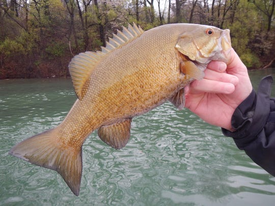 Smallmouth bass. A relatively small fish for the Niagara River.