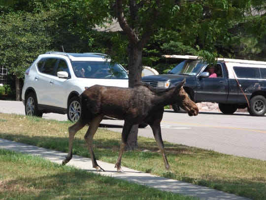 A moose walks through the English Ranch neighborhood