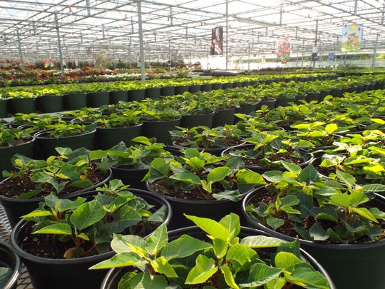 The poinsettias will be planted in a staggered manner,