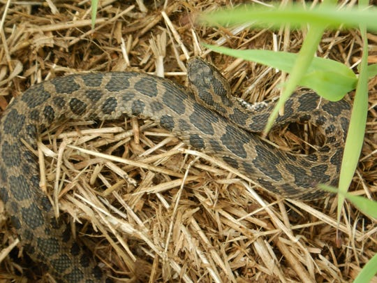According to IowaHerps.com, Massasauga Rattlesnakes