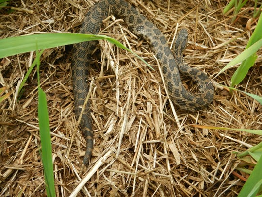 According to IowaHerps.com, Prairie Rattlesnakes are