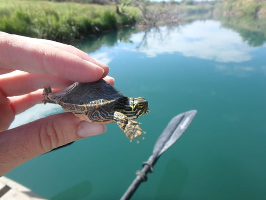 A Rio Grande River Cooter hatchling caught in the wild.