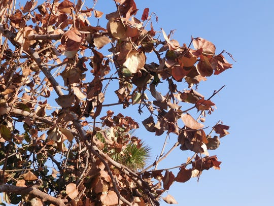 Sea grape plants experience wind burn a week after