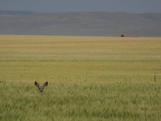 Mule deer doe hiding in a stand of grain.