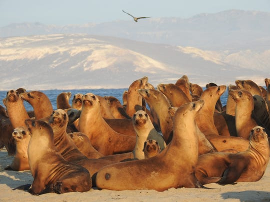 Female and juvenile California sea lions on San Miguel