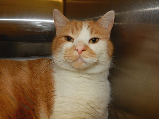 Spicy is a 2-year-old, neutered-male domestic short hair with stunning amber eyes. He is fully vetted and litter box trained. Spicy has a very sweet personality. His ginger and white coat carries the distinction of a little mustache. Find him at PetSmart through Cats Are Us, 931-503-0053, www.facebook.com/catsareustn.