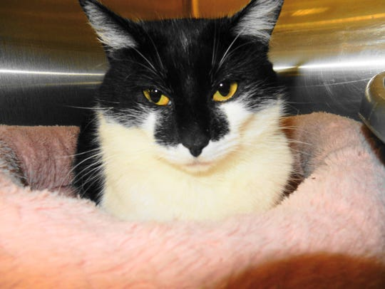 Thelma is a gorgeous 2-year-old, spayed-female domestic