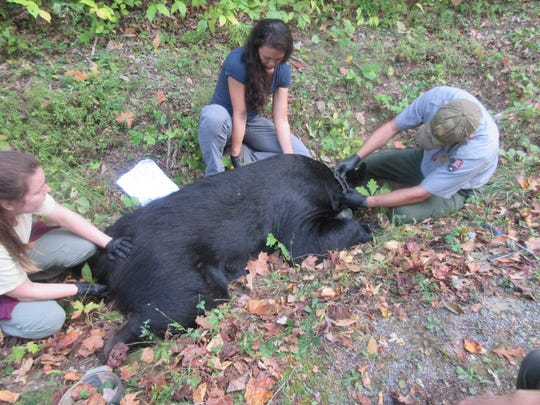 University of Tennessee graduate student Jessica Giacomini, center, helps fit a tranquilized black bear with a GPS-equipped collar. Giacomini has been studying the roaming patterns of black bears in the Smokies.