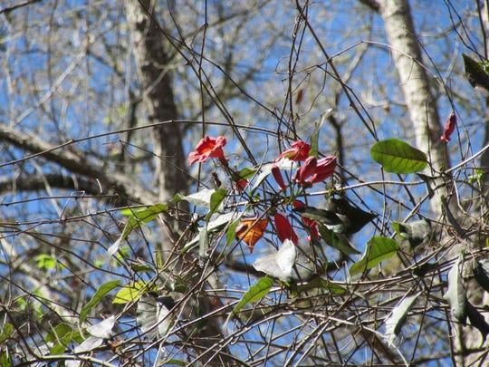 Cross vine in bloom.
