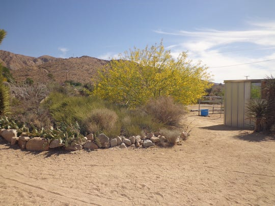 The super-broad canopy and no toxicity makes Desert Museum ideal for shading livestock areas.