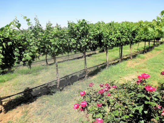 About 90 percent of the wine grapes in Texas are grown