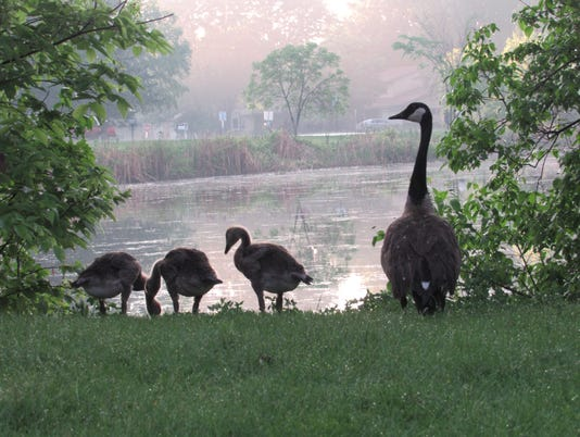 AlexandraKaja-Goslings-at-Sunset-Lions-Park.JPG
