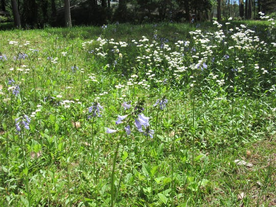 Lyre-leaf sage and fleabane are able to thrive in areas not mowed too often.
