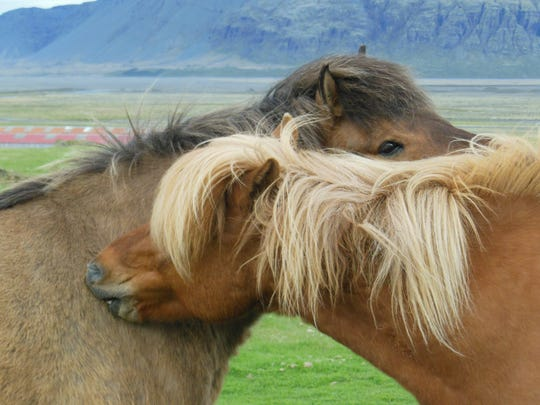 "Mary Dailor: ""Iceland was on my bucket list and it didn't disappoint. And everywhere you go you see the famous Icelandic horses grazing. They are a pure breed unique to Iceland; one can see them frequently grooming each other."" Mary Dailor is an amateur photographer who lives in Webster. She is retired from working at Kittelberger Florist in Webster."