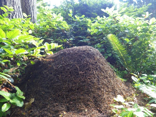 An over 2-foot-high thatch ant mound at the Bloedel