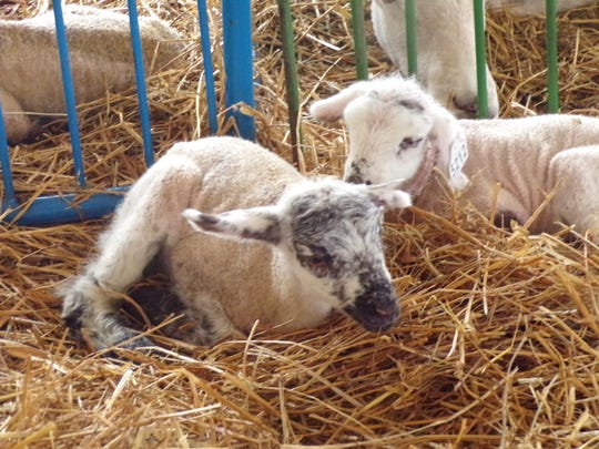 A pair of newborn lambs resting after their much anticipated arrival at the Miracle of Birth tent.