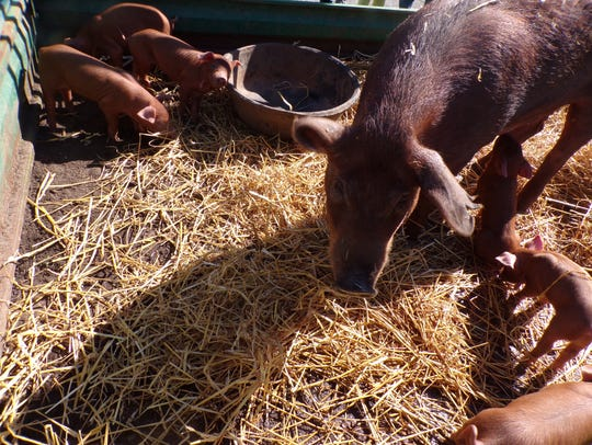 Red Wattle hogs were exhibited by a local farmer during
