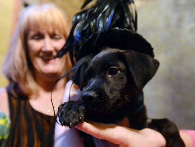 """Benie Mac"", a 12-week-old Lab, dons a hat designed by MK Darling Designs for the the Jackson-Madison County Humane Society's 16th Annual Whine and Dine Pet Parade, Saturday, July 19, 2014 at The Aeneas Building in downtown Jackson."