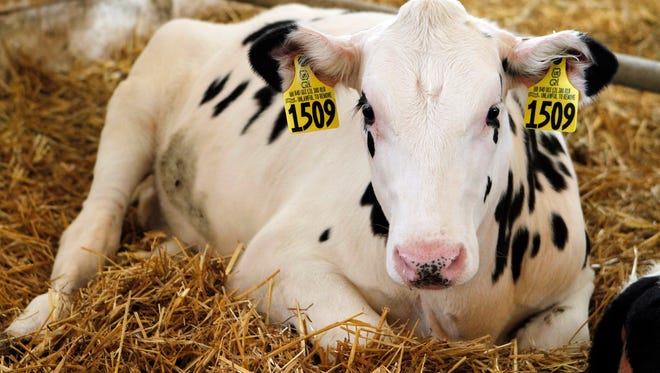 Heifer management goals boildown to controlling costs by rearing a sufficient number of high quality heifers.