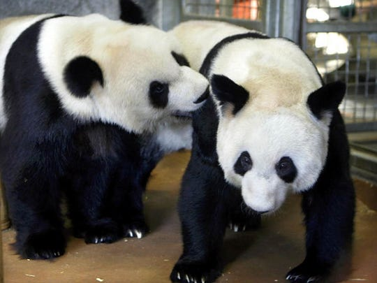 The Memphis Zoo is one of only four zoos in the U.S. to house giant pandas.
