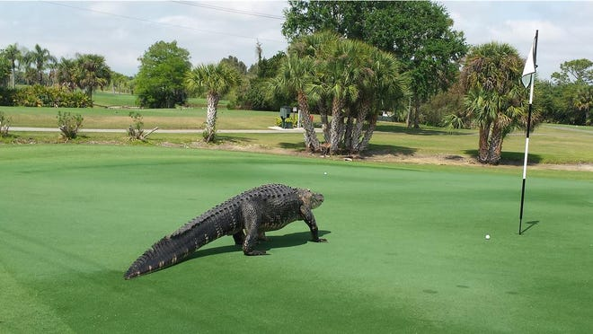 Alligator Devours Massive Turtle On Florida Golf Course