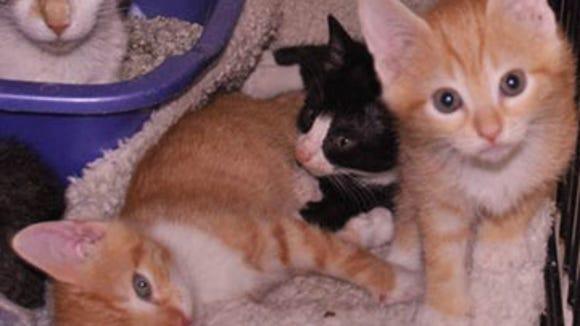 spca-kittens