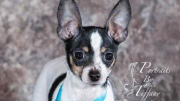 Lopez was one of two teacup Chihuahuas delivered to the Humane Society of Marathon County after being found emaciated in a Wausau basement.