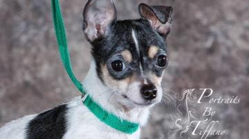 Pepe was one of two teacup Chihuahuas delivered to the Humane Society of Marathon County after being found emaciated in a Wausau basement.