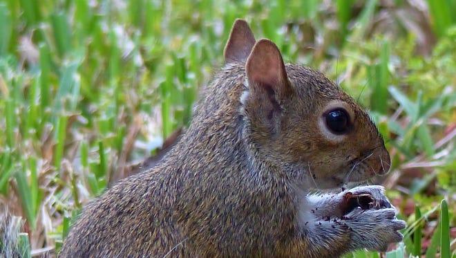A Florida grey squirrel eating an acorn.