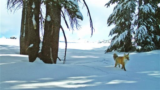 In this December 2014 image provided by the National Park Service from a remote motion-sensitive camera, a Sierra Nevada red fox walks in Yosemite National Park, Calif.