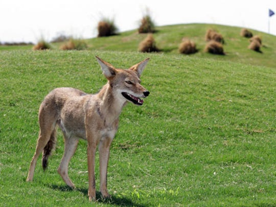 A coyote wandered on the Painted Dunes Desert Golf Course in July 2011.