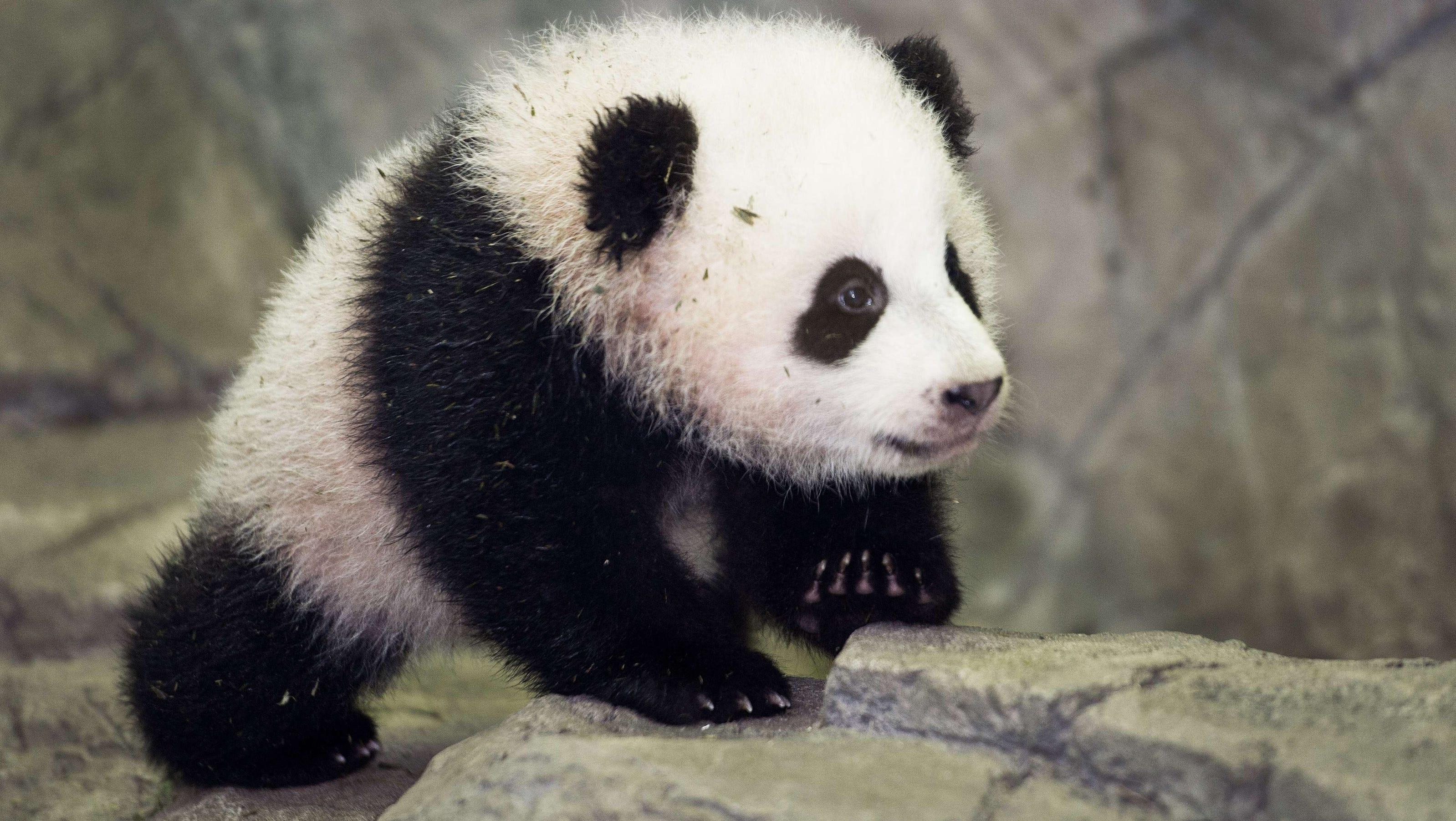 Baby Panda Bao Bao Meets The Press At National Zoo