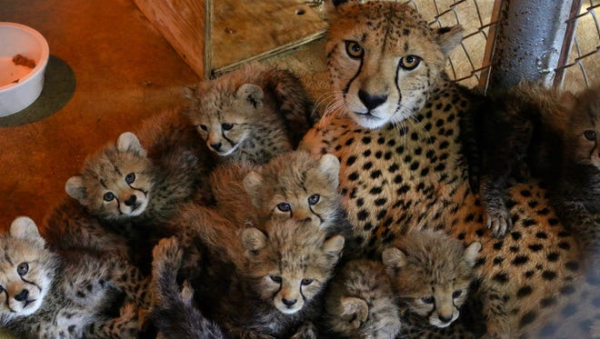 Family portrait: these eight cheetah cubs were born November 26 at the Saint Louis Zoo.