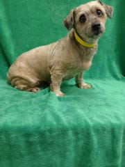 Abbie is a 6-year-old Lhasa Apso mix who weighs 14
